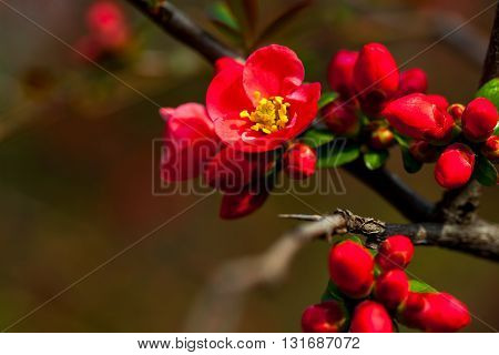 Red Buds And Flowers Blossom