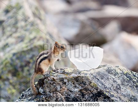 Ground squirrel or Golden Mantled Ground Squirrel Canada Banff sitting on the rock exploring peace of ice searching for food