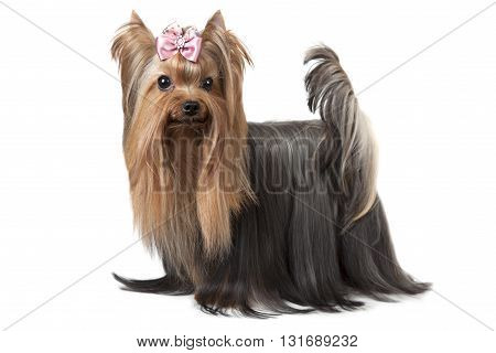 Purebred Yorkshire terrier dog isolated on white background