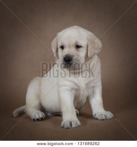 Cute little Labrador puppy six weeks old sitting in front of beige background
