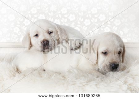 Two purebred Labrador puppies lying on a fur rug indoors