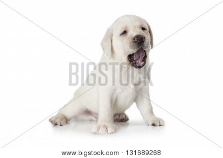 Six weeks old purebred Labrador puppy isolated on white background