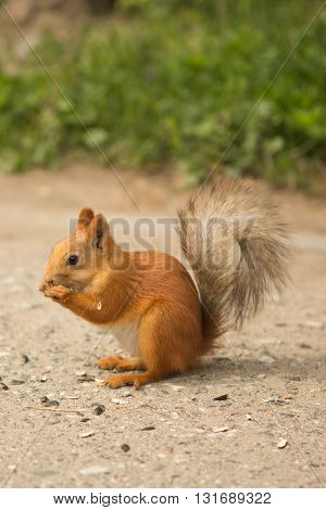 little red squirrel eating seeds on the path in the Park