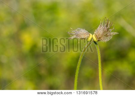 leafless kiss dandelions bokeh stems love unusual