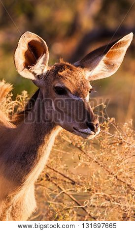 Close up of a Female Kudu in the Okavango delta