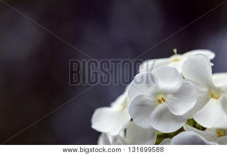 Closeup on a white flower in a garden. Fuzzy, dark background.