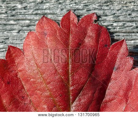 Red leaves in closeup, macro on sweet strawberries. Texture and patterns on the leaf.