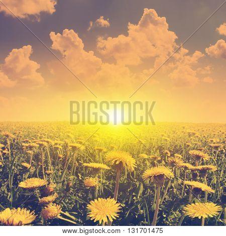 Summer landscape with dandelion field in vintage style.