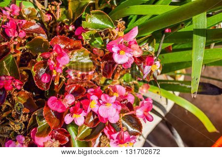 Red Flowers New Guinea, Sidewalk flowers red. Impatiens flower on a sidewalk