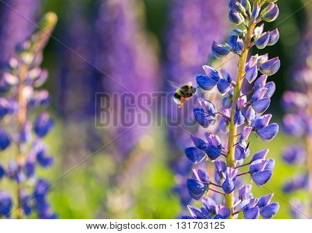 Beautiful Wild Lupinus Flowers And Bumblebee