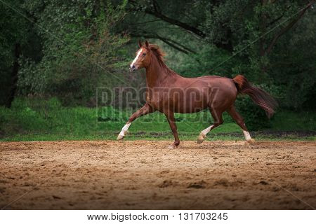 red horse run on the trees background