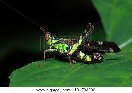 Macro grasshopper. Green grasshopper on a meadow