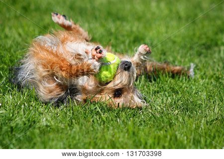 Upside down dog playing with a tennis ball