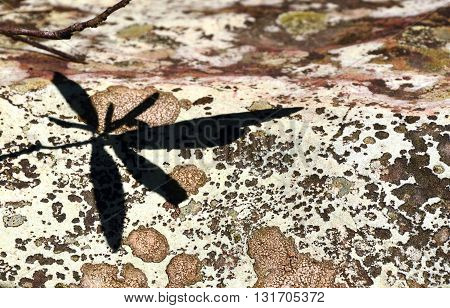 Leaf shadow on a colourful lichen covered rock