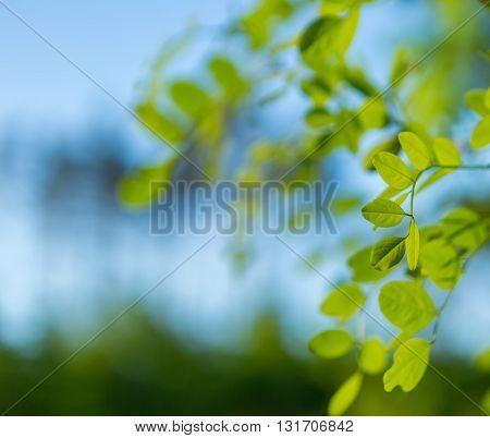 Acacia Leaves Background