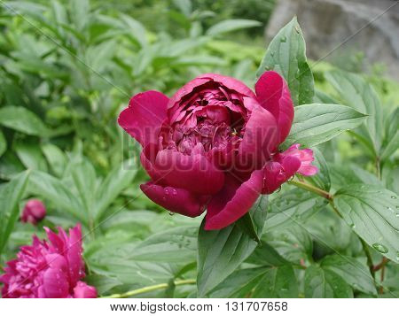 One red peony flower 'Carina' on a rainy day.