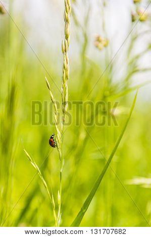 Coccinella Septempunctata - Ladybug (ladybird).
