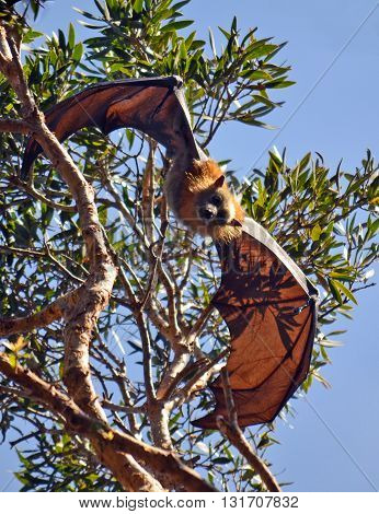 Grey Headed Flying Fox (Fruit Bat) hanging from a tree with wings spread