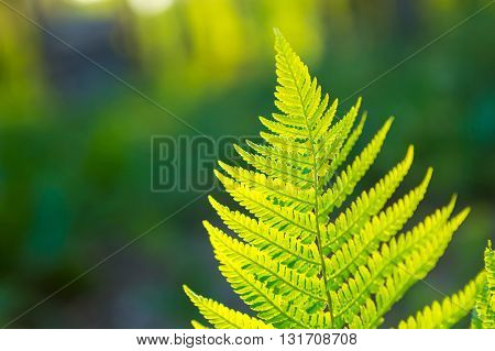 Fern Leaves Growing In Forest In Summer Sunlight
