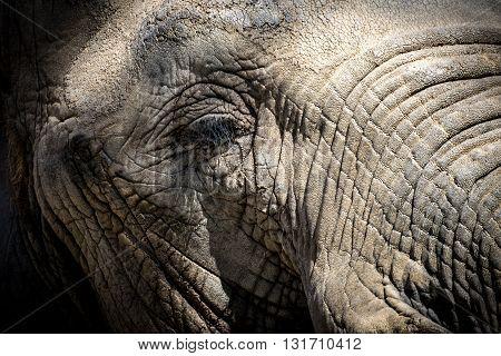 African Elephant Eye (loxodonta Africana)