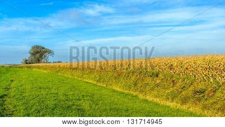 Colorful composition of grass reeds fodder maize trees and a blue sky on a sunny day in the Netherlands.