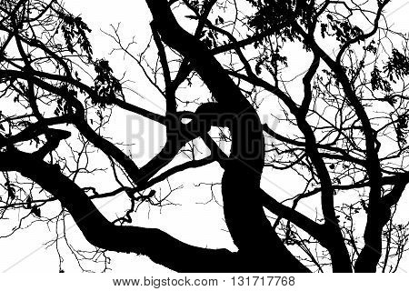 Tree branches black and white , dead