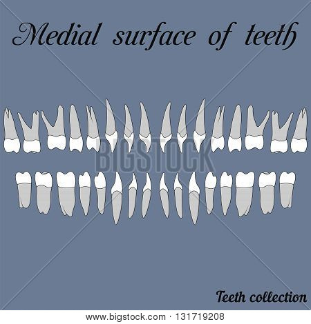 Medial surface of teeth - incisor canine premolar molar upper and lower jaw. Vector illustration for print or design of the dental clinic
