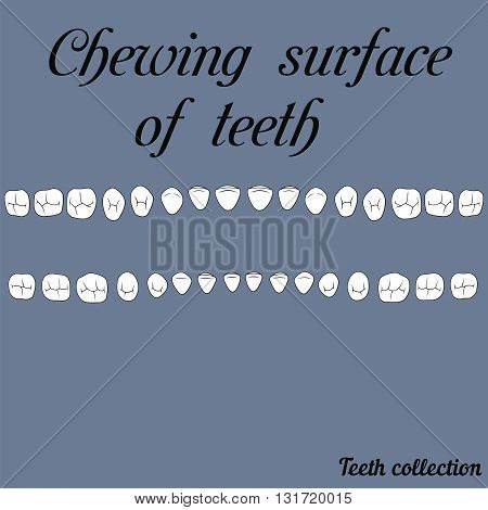 The chewing surface of teeth human fisura- incisor canine premolar molar upper and lower jaw. Vector illustration for print or design of the dental clinic