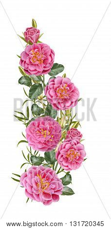 composition of pink roses. Isolated on white background. Floral background.