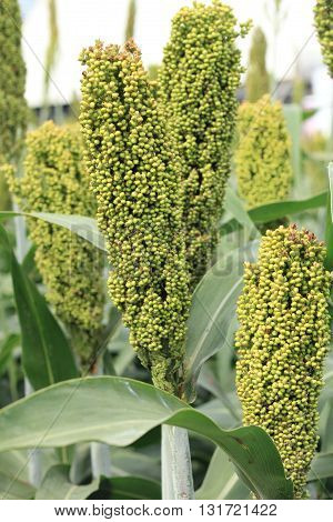 Green Sorghum  on a field in Thailand