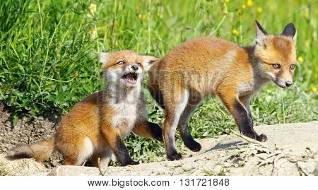 angry red fox baby playing with its brother near the den ( Vulpes vulpes )