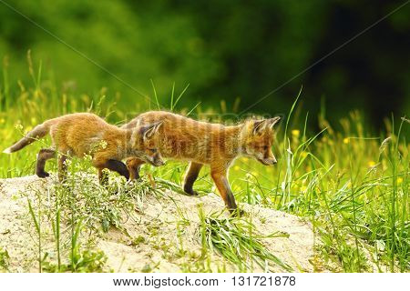 big brother red fox walking near the den with a little cub ( Vulpes vulpes )