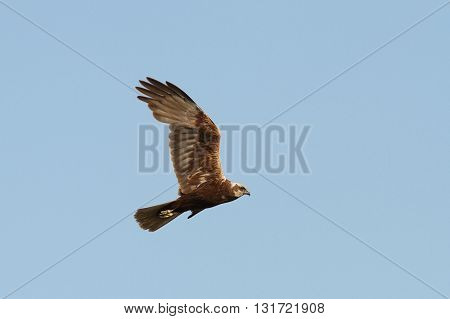 Circus aeruginosus - marsh harrier in flight over blue sky