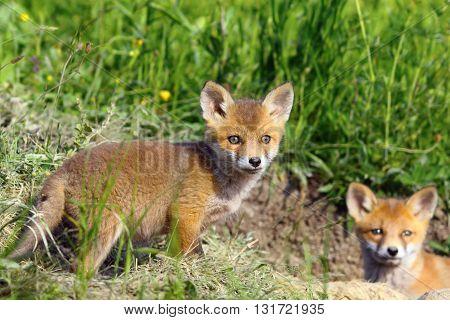 curious fox cub looking at the camera ( Vulpes vulpes wild animal )