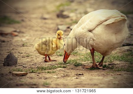 cute gosling with its mother on rural road