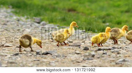 cute yellow goslings walking together on rural road