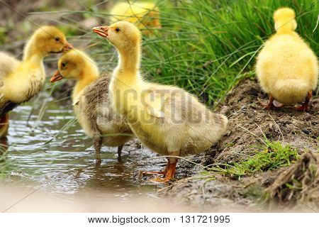 cute yellow gosling drinking water at the pond