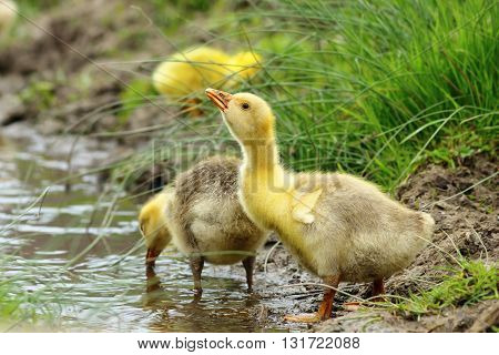 cute yellow gosling drinking water from a pond