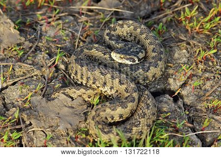 hungarian meadow adder basking in natural habitat ( Vipera ursinii rakosiensis )