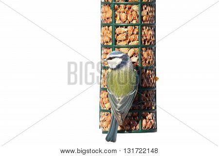 blue tit eating peanuts on birdfeeder isolation over white background( Cyanistes caeruleus )