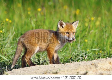 little red fox cub ( Vulpes vulpes ) standing near the den image taken in wilderness