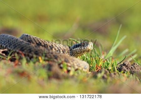 meadow viper basking in natural habitat ( Vipera ursinii rakosiensis )