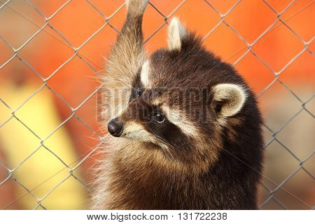 raccoon portrait while climbing on cage wires ( Procyon lotor )