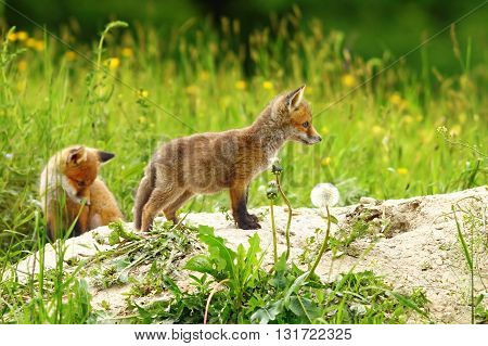 two red fox cubs exploring the outside world near the burrow