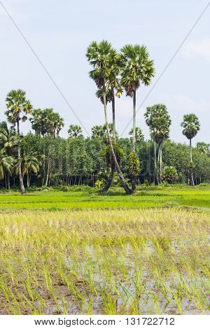 Young rice are grown in the paddy field/Rice field