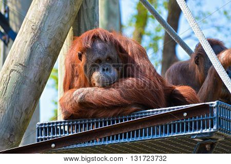 An orangutan sitting on a platform outside