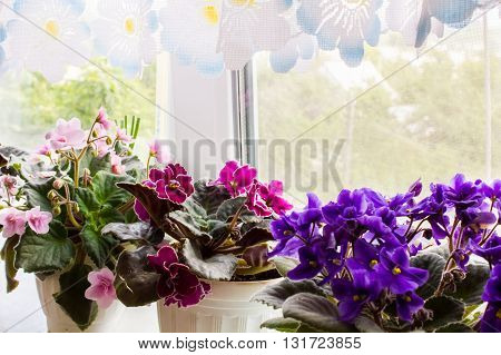 Beautiful lush violets flowering purple crimson and pink color on the windowsill in the house