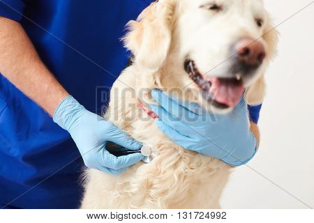 Close up of pretty dog standing in veterinary clinic. Male vet is listening to animal heart with stethoscope