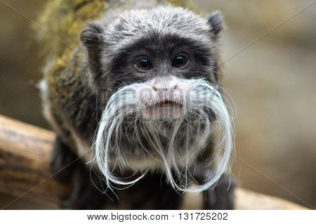 A close up of an Emperor Tamarin