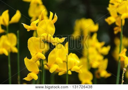 Blooming gorse bush in spring, yellow flowers. Turkey